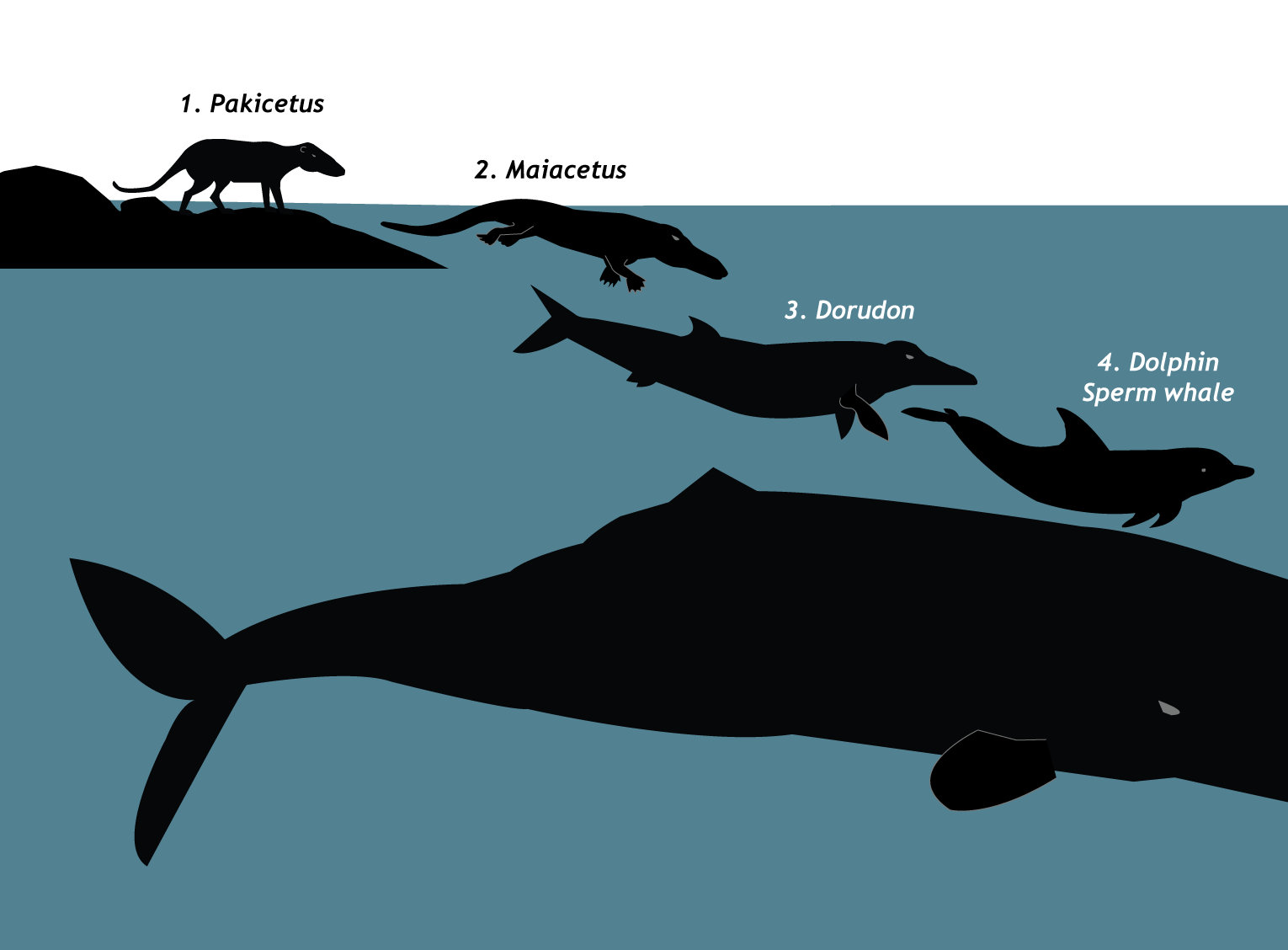 Evolution of whales. Image: Annica Roos, NRM