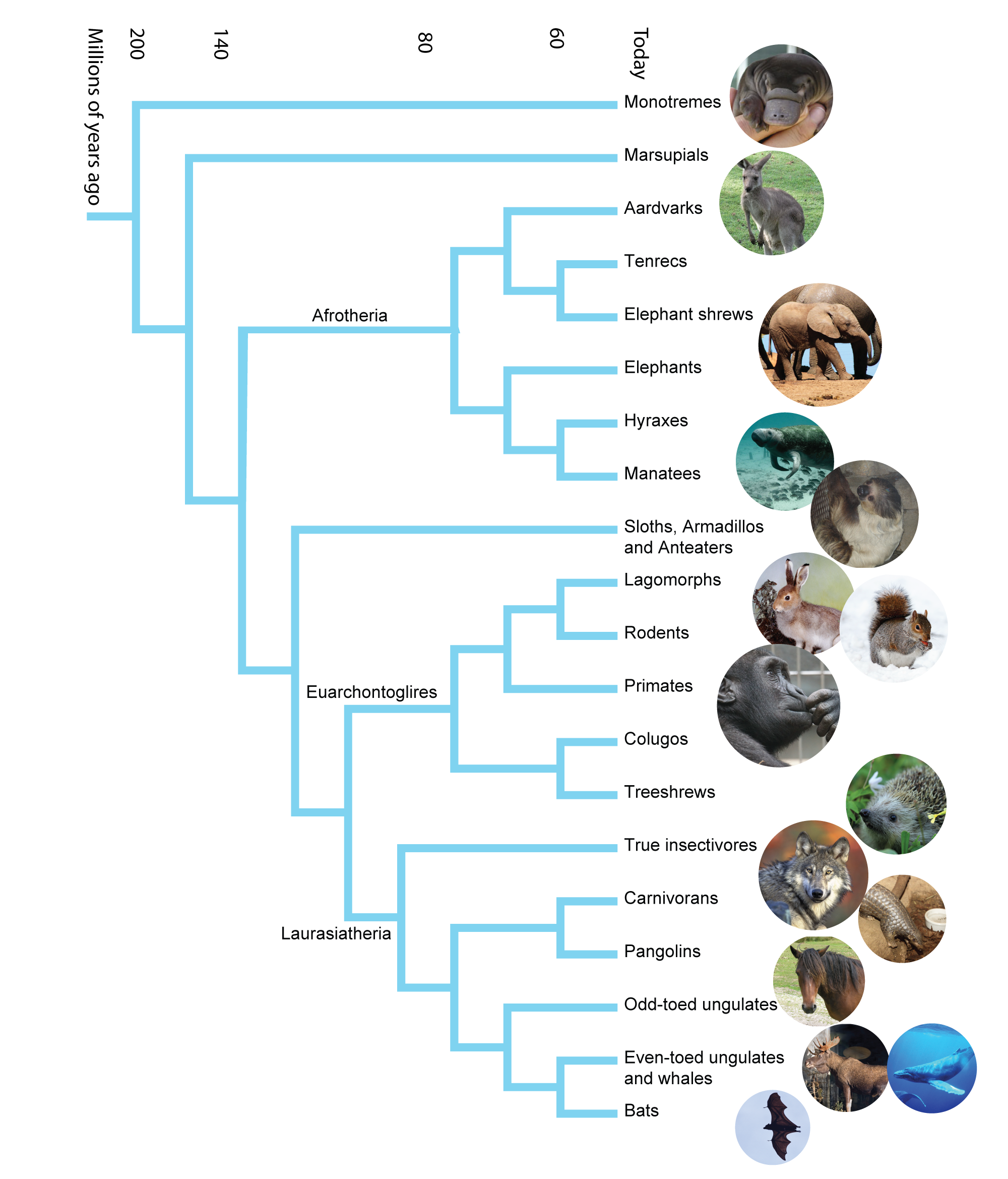 Mammal family tree. Image: Annica Roos, NRM