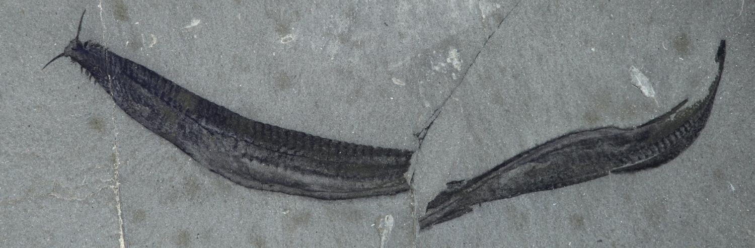 Fossil av pikaia. Foto: Smithsonian Institution, National Museum of Natural History, Jean-Bernard Caron